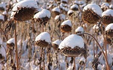 Подсолнечник зимует на полях.