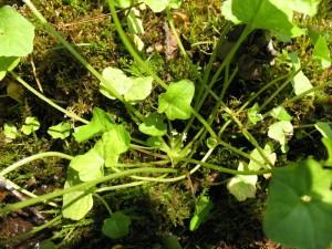 В Бурятии выращивают мегадению Бардунова