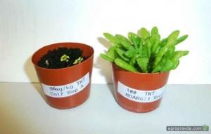 Растение для разминирования полей